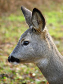 Roe deer — Foto Stock