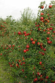 Autumn in the orchard — Stock Photo
