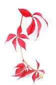 Red bindweed — Stock Photo