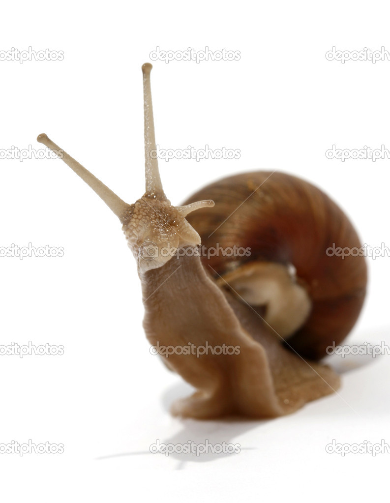 Edible snail on the white background — Stock Photo #2460694