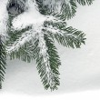 Twig of the spruce — Stock Photo