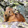 Stock Photo: Small fur animal on the stone in Altai