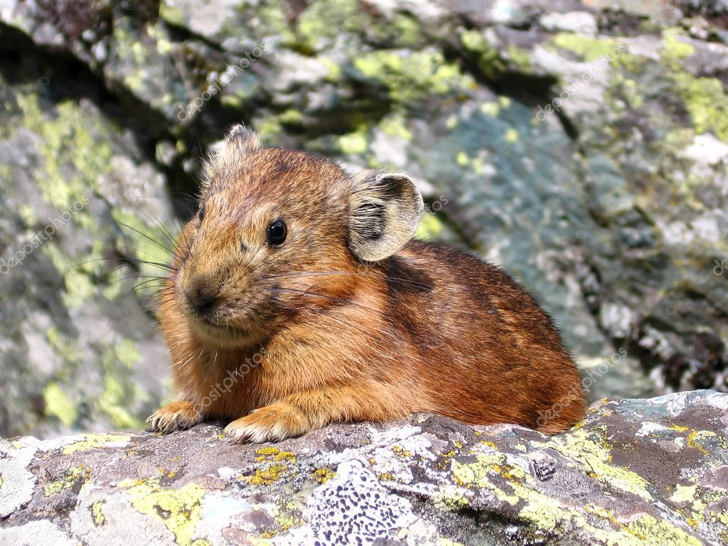 Small brown fur animal on the stone in Altai mountains. Russia. — Stock Photo #1996596