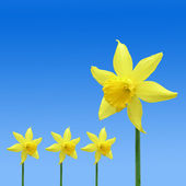 Daffodil pattern — Stock Photo