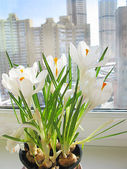 Crocuses on a window — Stock Photo