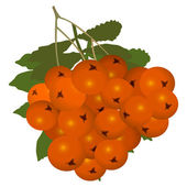 Ashberry (rowanberry) — Stock Vector
