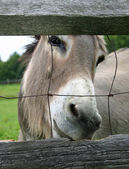 Fenced Mule — Stock Photo