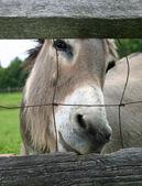 Fenced Mule — Stock Photo