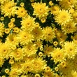 Stock Photo: Yellow Mums