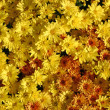 Combo Mums — Stock Photo