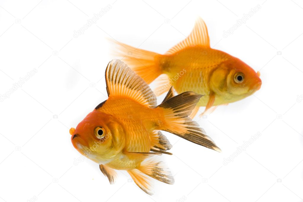 Gold fish white white background — Stock Photo #2047240