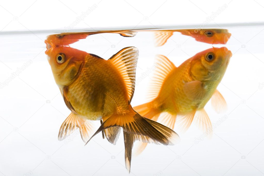 Gold fish white white background — Stock Photo #2047336