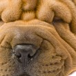 Royalty-Free Stock Photo: Sharpei dog
