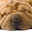 Sharpei dog — Stockfoto #2054687