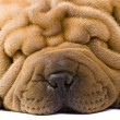 Foto Stock: Sharpei dog