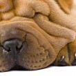 sharpei dog — Stock Photo #2054803