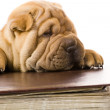 Sharpei dog — Stock Photo #2055069