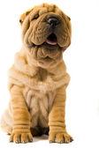 シャーペイ犬 — ストック写真