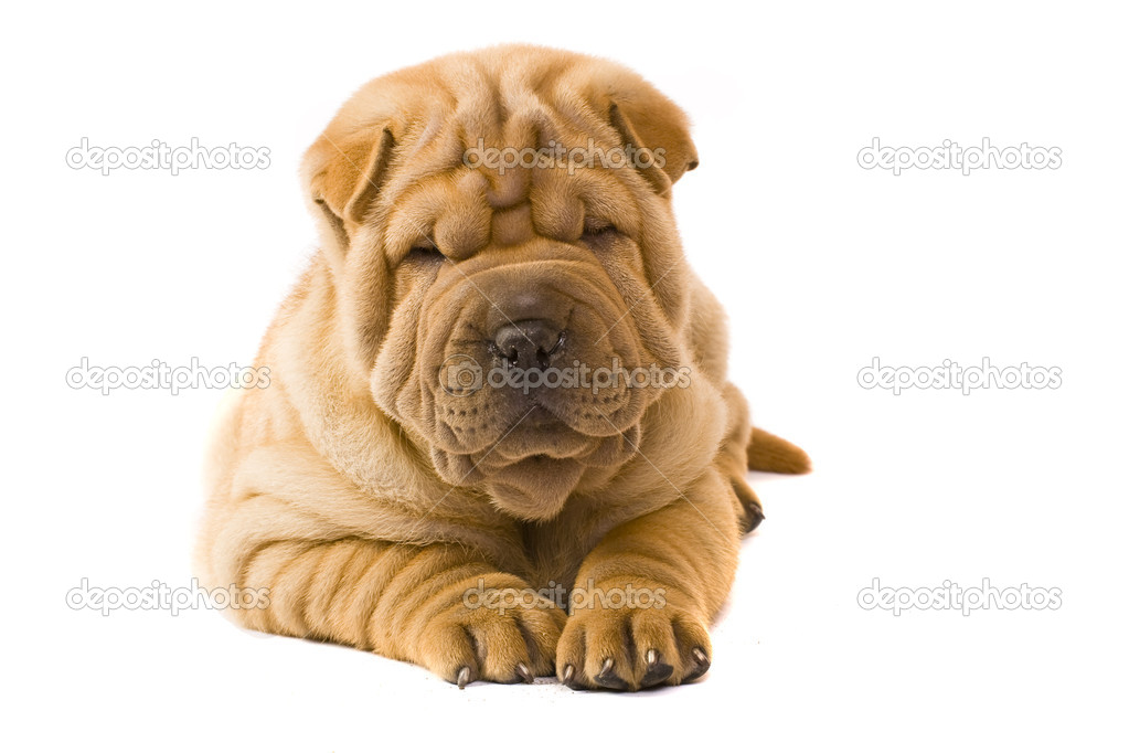 Funny sharpei puppy isolated on white background — Stock Photo #2052103