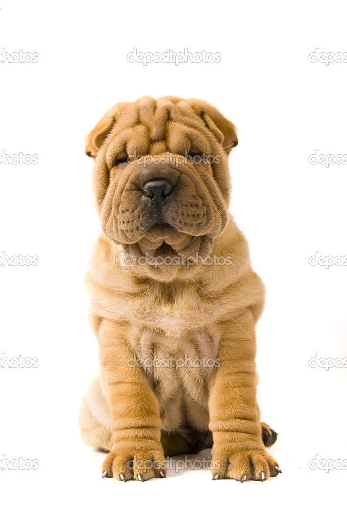 Funny sharpei puppy isolated on white background — Stock Photo #2052947