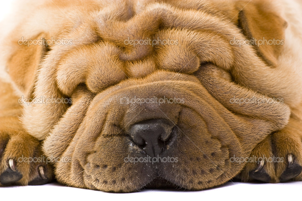 Funny sharpei puppy isolated on white background — Stock Photo #2054687