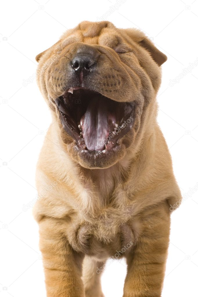 Funny sharpei puppy isolated on white background — Stock Photo #2055509
