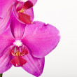 Orchid — Stock Photo #2089184