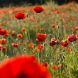 The red poppies of the meadow — Stock Photo #2145200