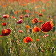 The red poppies of the meadow — Stock Photo #2145212