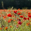 The red poppies of the meadow — Stock Photo #2145226