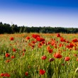 The red poppies of the meadow — Stock Photo #2145246