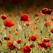 Foto Stock: Red poppies of meadow