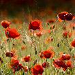 Stock Photo: Red poppies of meadow
