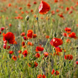 The red poppies of the meadow — Stock Photo