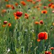 The red poppies of the meadow — Stock Photo #2149904