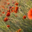 Stock Photo: The red poppies of the meadow