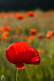 The red poppies of the meadow — 图库照片