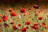草甸的红色 poppies — 图库照片