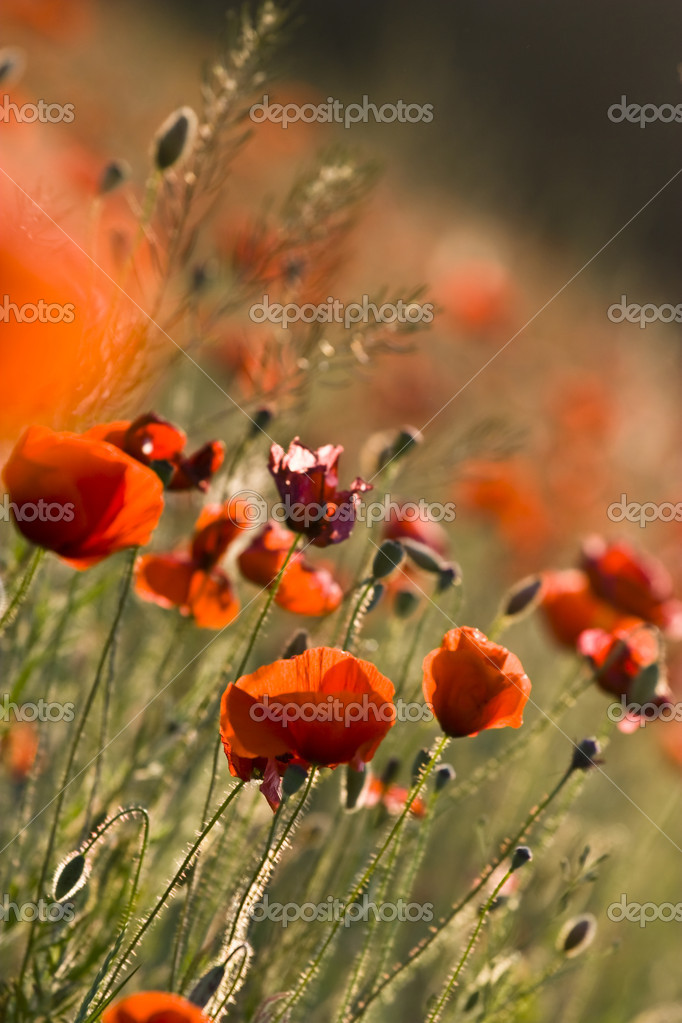 This beautiful photo, that called the red poppies of the meadow was taken on a joyful summer day. — Stock Photo #2149933