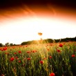 The red poppies of the meadow — Stock Photo #2151412