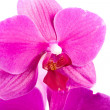 Orchid — Stock Photo #2153458