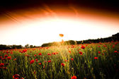The red poppies of the meadow — ストック写真
