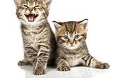 猫 — ストック写真