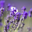 Royalty-Free Stock Photo: Lavender field