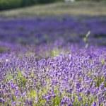 Lavender field — Stock Photo #2204324