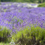 Lavender field — Stock Photo #2204350