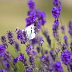 Lavender field — Stock Photo #2204423