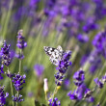 Lavender field — Stock Photo #2204541