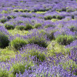 Lavender field — Stock Photo #2204821
