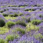 Lavender field — Stock Photo #2204821